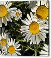 Alpine Daisies In Glacier National Park Canvas Print