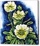 Alpine Ranunculus Canvas Print