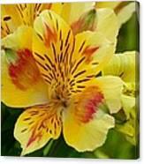 Alstroemerias Flower 1 Canvas Print