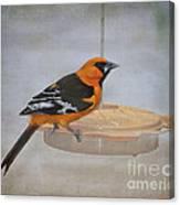 Altamira Oriole Canvas Print