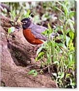 Am Robin Canvas Print