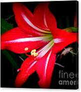 Amaryllis . Hippeastrum Species Canvas Print