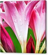 Amaryllis Flowers And Buds In The Rain Canvas Print