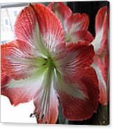 Amaryllis In Bloom Canvas Print