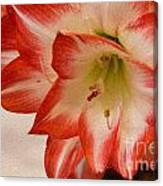 Amaryllis In Spring Canvas Print
