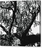 Amazing Oak Tree Canvas Print