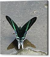 Amazon Butterfly 3 Canvas Print