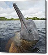 Amazon River Dolphin Spy-hopping Rio Canvas Print