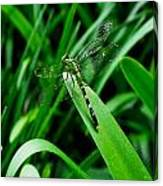 Atchafalaya Dragonfly Canvas Print