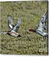 American & Eurasian Wigeons Canvas Print