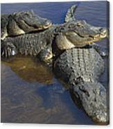 American Alligators In Shallows Florida Canvas Print