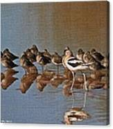 American Avocet And Sleeping Dowitchers Canvas Print