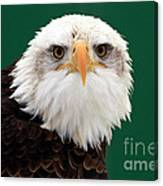 American Bald Eagle On The Look Out Canvas Print