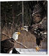 American Bald Eagles Canvas Print