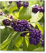 American Beautyberry -callicarpa Americana Canvas Print