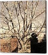 American Beech Tree - Dumbarton Oaks Canvas Print