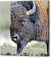 American Bison Closeup Canvas Print