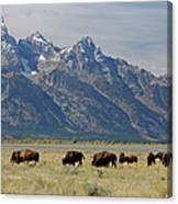 American Bison Herd Canvas Print