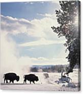 American Bison In Winter Canvas Print