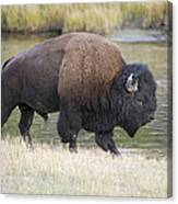 American Bison On The Madison River Canvas Print