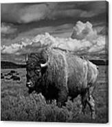 American Buffalo Or Bison In The Grand Teton National Park Canvas Print