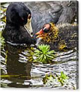 American Coot And Chick Canvas Print