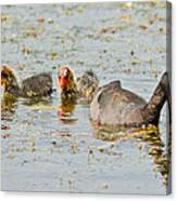 American Coot And Chicks Canvas Print