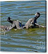 American Coots Fighting Canvas Print