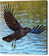 American Crow Flying Over Water Canvas Print