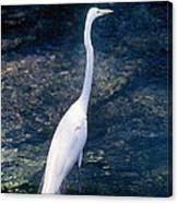 American Egret I Canvas Print