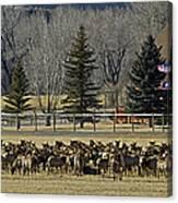 American Elk   #4305 Canvas Print