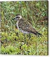 American Golden Plover Canvas Print