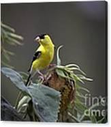 American Goldfinch 5 Canvas Print