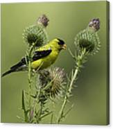 American Goldfinch Eating Thistle Seed Canvas Print