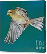 American Goldfinch Hen In Flight Canvas Print