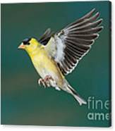 American Goldfinch Male-flying Canvas Print