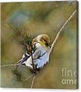 American Goldfinch On A Cedar Twig - Digital Paint Canvas Print