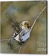American Goldfinch On A Cedar Twig Canvas Print
