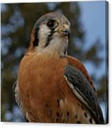 American Kestrel 4 Canvas Print