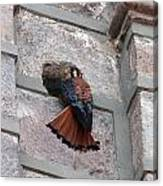 American Kestrel Perched On The Side Of A Building Canvas Print