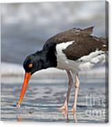American Oystercatcher Feeding On Clam Canvas Print