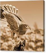 American Red Tail Hawk Canvas Print