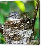 American Redstart Nest Canvas Print