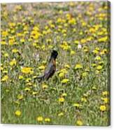 American Robin In A Field Of Dandelions Canvas Print