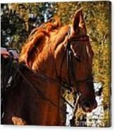 American Saddlebred 4 Canvas Print