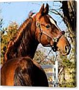 American Saddlebred Stallion Canvas Print