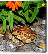 American Toad Canvas Print