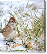 American Tree Sparrow Canvas Print