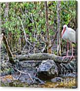 American White Ibis Canvas Print