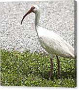 American White Ibis Poster Look Canvas Print